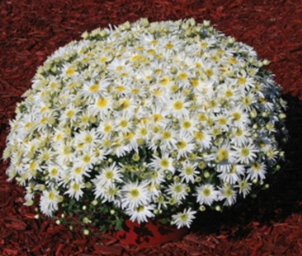 Mum Edith™ White USAPPF