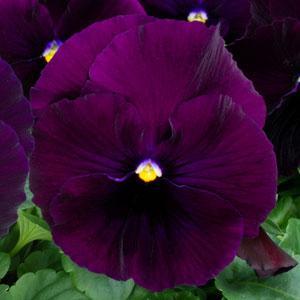 Spring Matrix Purple