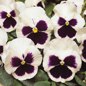 Spring Matrix White Blotch