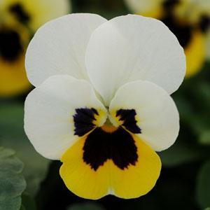 Sorbet Lemon Ice Blotch Viola
