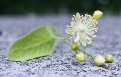 Linden flower with surrounding leaves