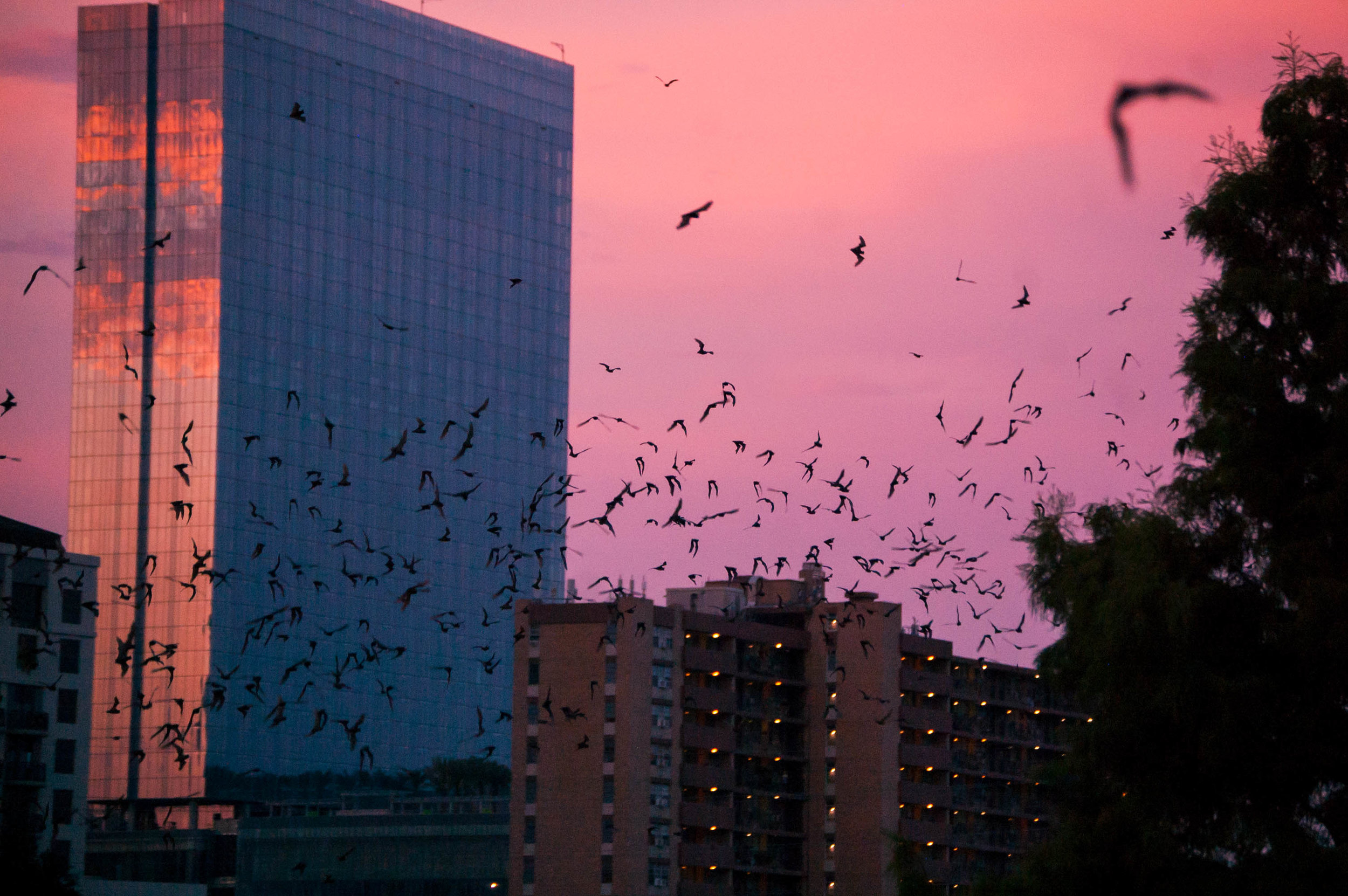 The largest urban bat colony in North America lives under the Ann Richards Congress Avenue Bridge in Austin, Texas.  Every night at sunset from March to November, 1.5 million Mexican free-tailed bats fly out for their nightly hunt.  The form clouds that loop and whirl around the skyscrapers, searching for insects all night long until they return to their hidden home under the bridge just before sunrise.