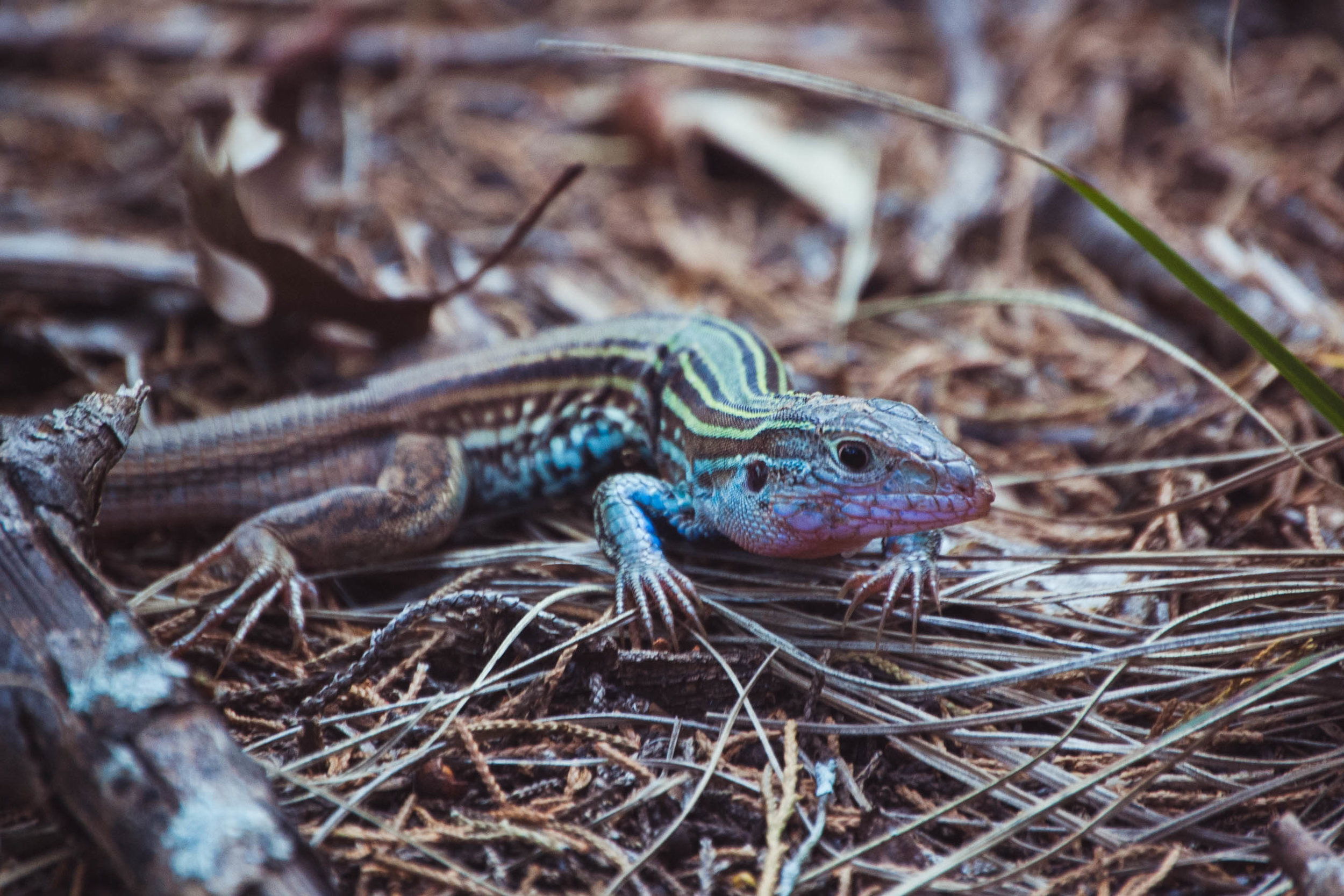 A Texas spotted whiptail pauses in the underbrush