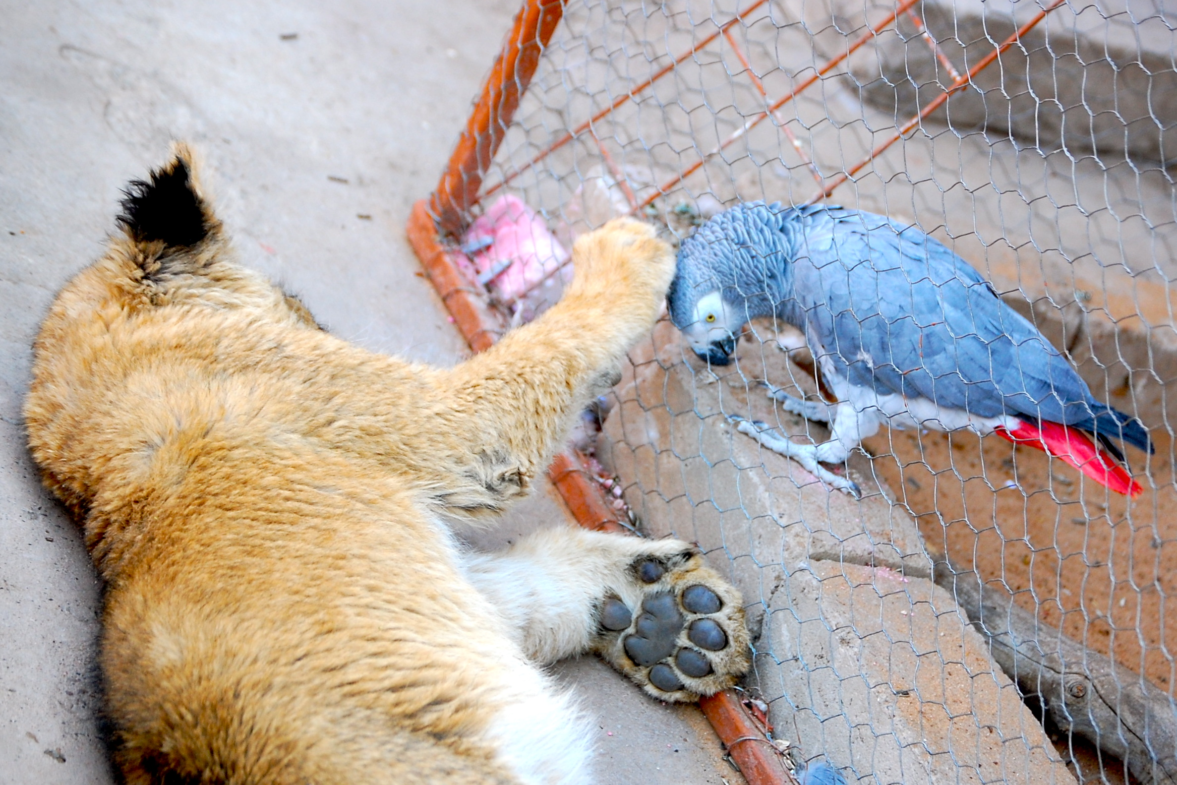 A young lion cub and an African grey parrot greet each other near Gobabis, Namibia