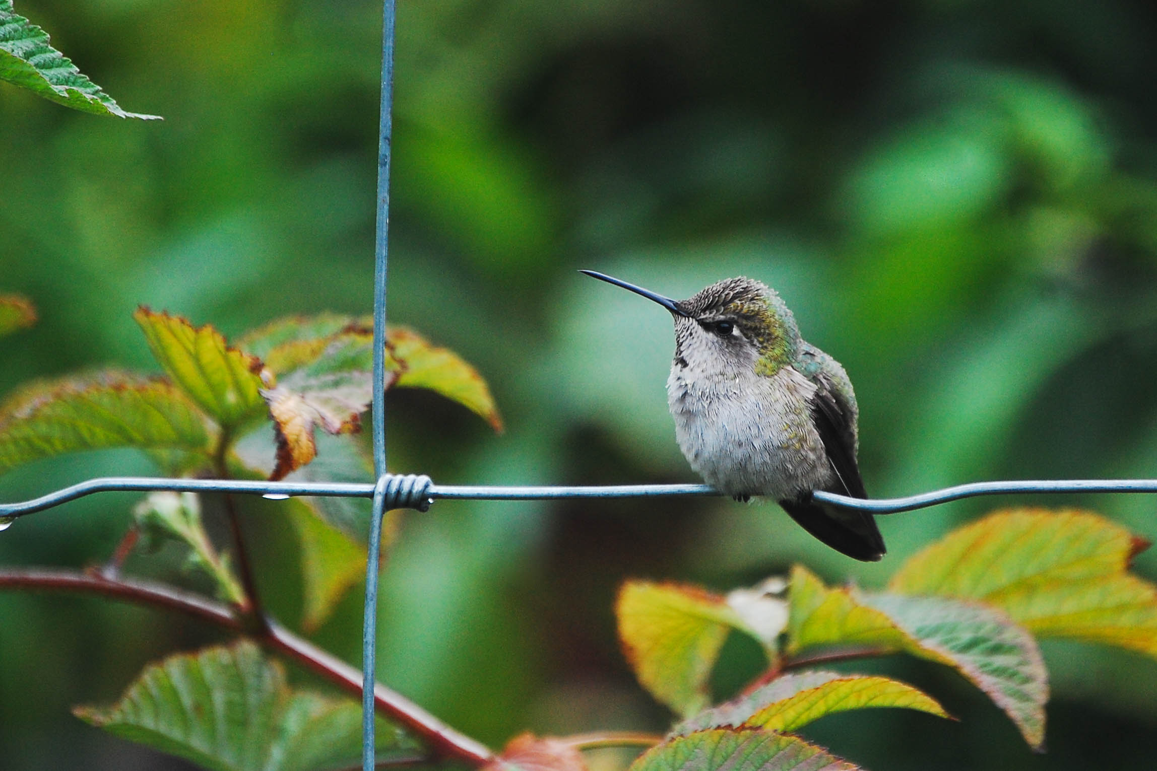 A hummingbird fluffs itself up in the chill following an October rainstorm in Oregon