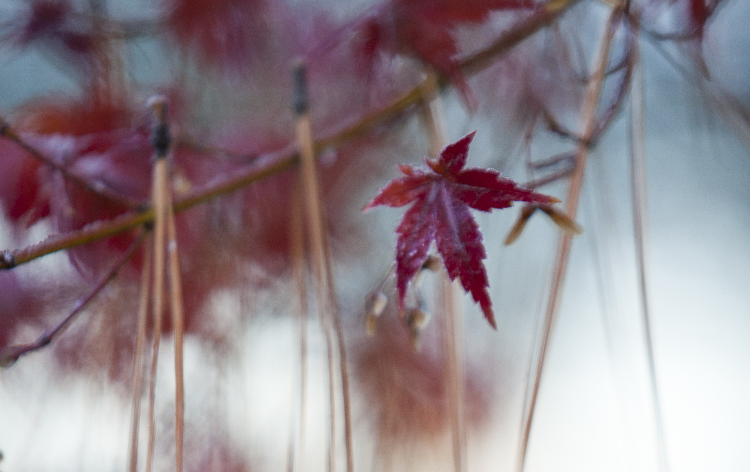 Japanese Maple 3.jpg