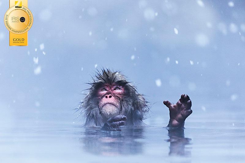 Snow-monkey-Langford.jpg