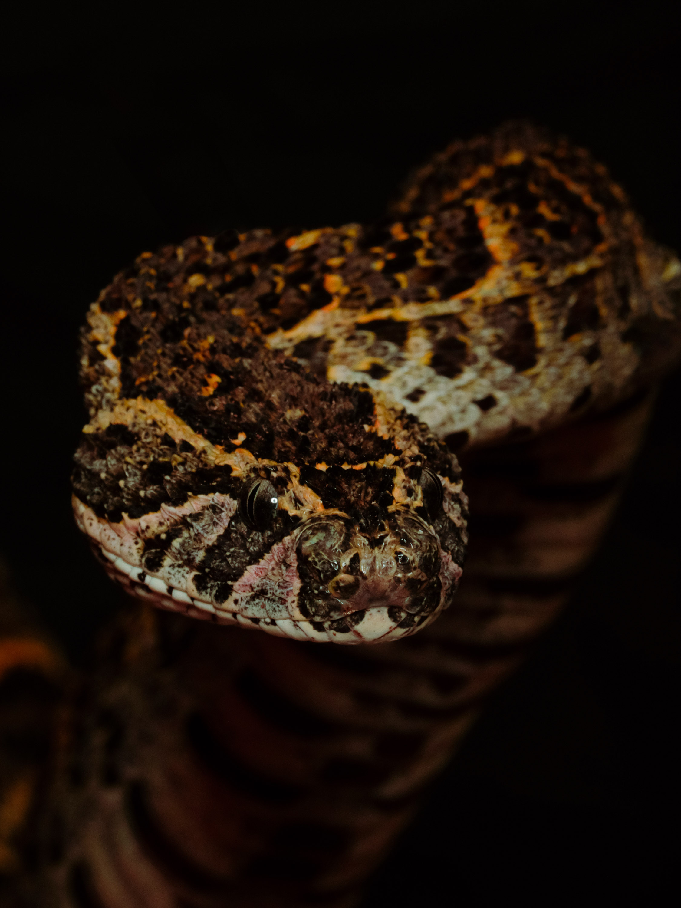 African Puff Adder. This species causes a large percentage of snakebites throughout Africa. Venom causes haemorrhage, vomiting and tissue necrosis.