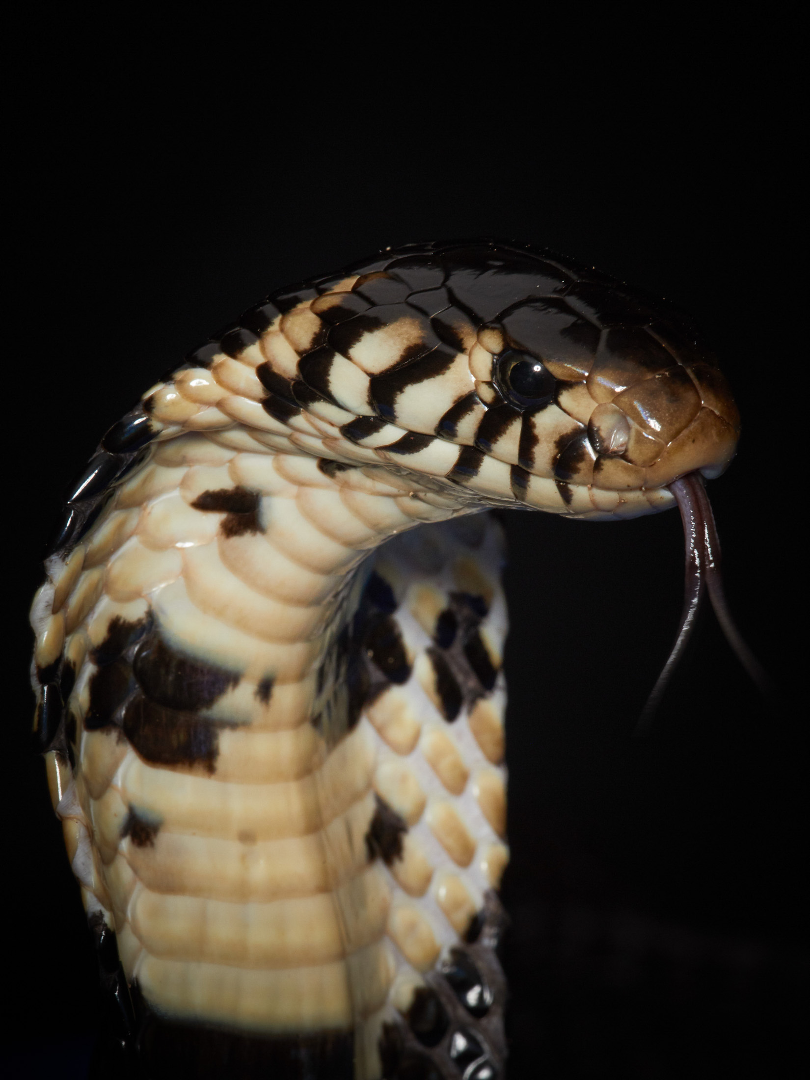 Forest Cobra. Neurotoxic venom that causes shock, fever, dizziness, pain, paralysis and respiratory symptoms.