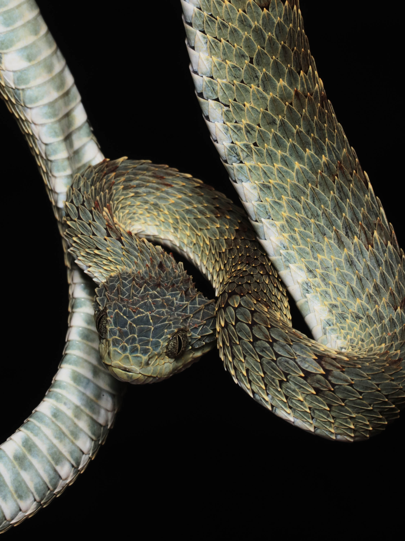Atheris Bush Viper. Venom causes haemorrhage and pain, no specific anti-venom exists.