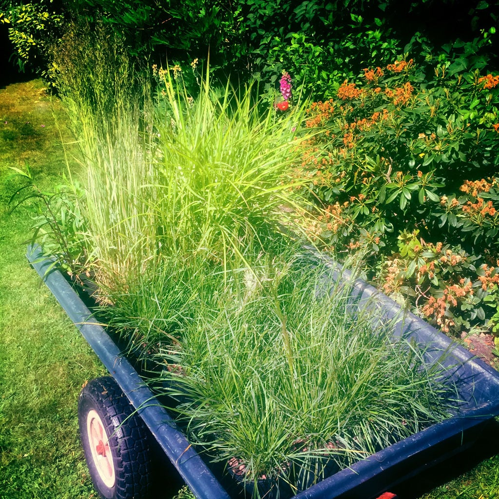 Grassy. A barrow full of  Deschampsia  and  Miscanthus .