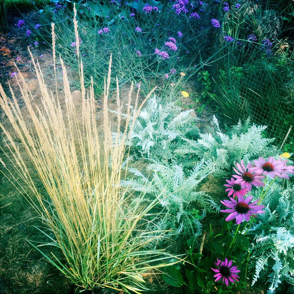 Mesh, top right, protecting a clump of  Deschampsia cespitosa  'Goldtau' from hungry rabbits