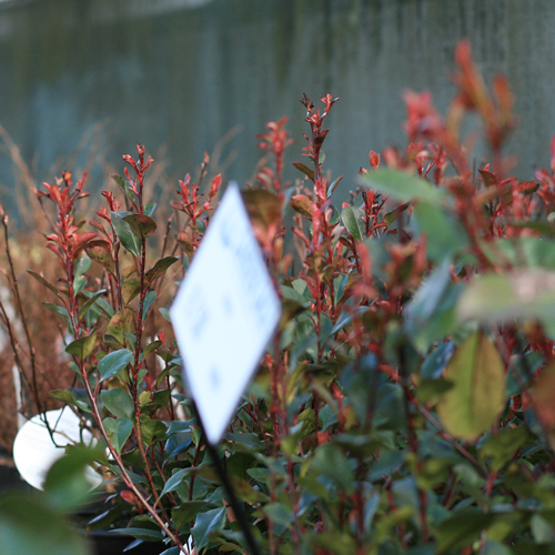 Photinia  x  fraseri  'Little Red Robin' with it's red flushed new growth