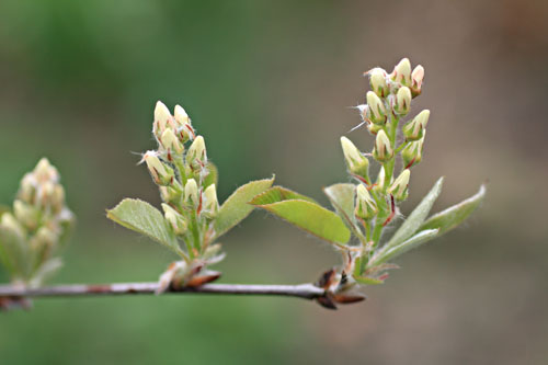 Flower buds a few weeks back on  Amelanchier larmarckii . Or possibly  A. canadensis.  Noone really knows, though many like to pretend.