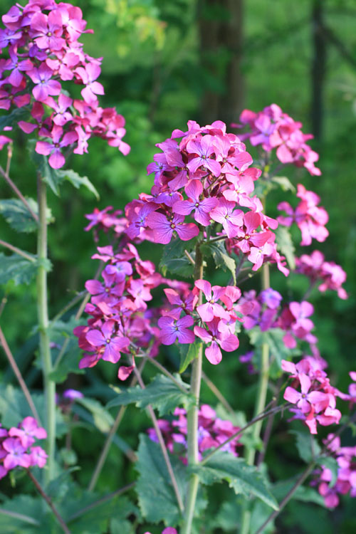 Honestly, one of my favourites, for spring colour and summer seed pods. Bog standard  Lunaria annua , seed nicked from the gardens of our great friends Mab and Lou Burgess several houses ago.