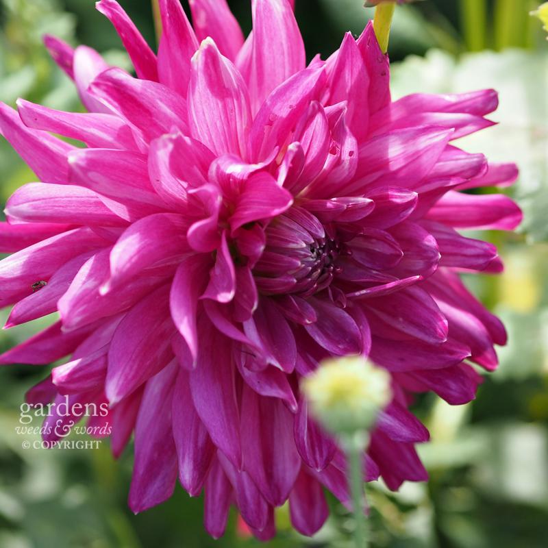 Dahlia  'Pink Diamond'