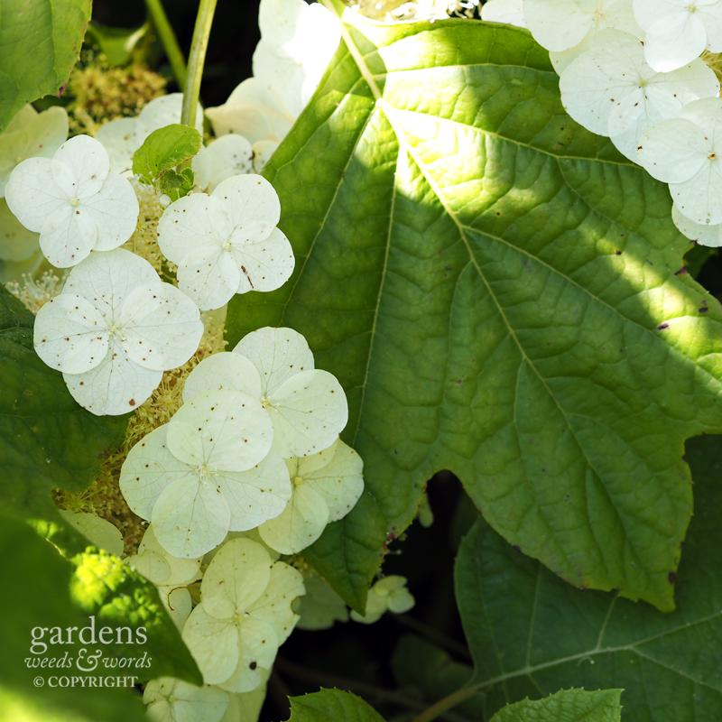 Hydrangea querciffolia