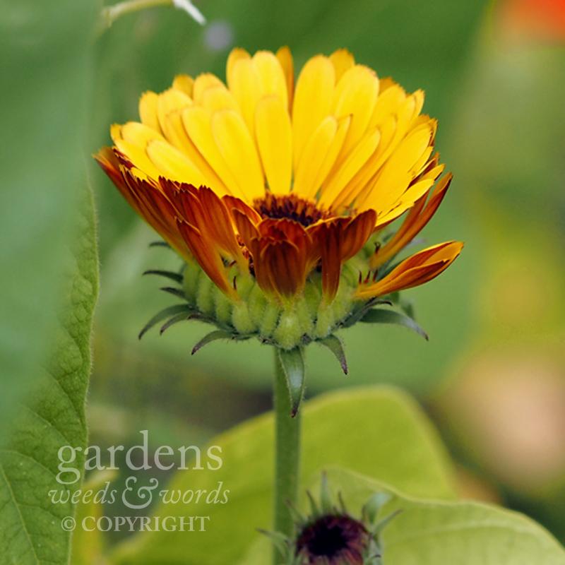 orange_calendula1.jpg