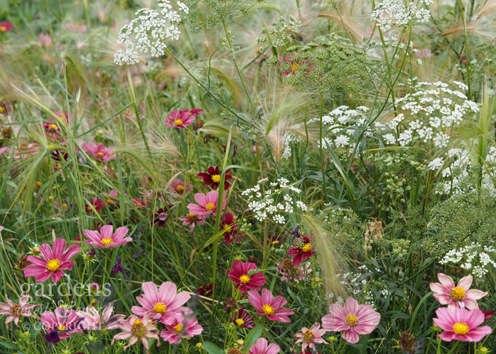 Daisies, umbellifers and grasses make for an energetic summer display with a naturalistic feel. Cosmos,  Ammi majus  and  Stipa tenuissima  will give this effect.