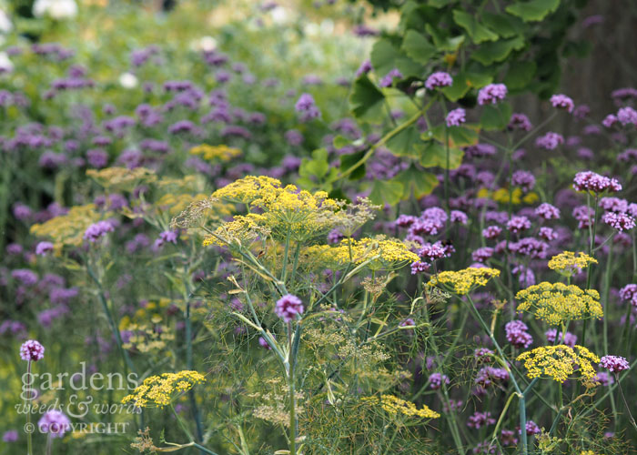 Fennel and  Verbena bonariensis  is a tried and tested pairing, but the leaves of  Ginkgo biloba  raise this planting combination to another level