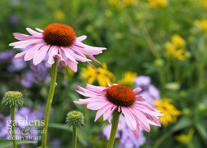 Echinaceas with phlox and rudbeckia in the background....