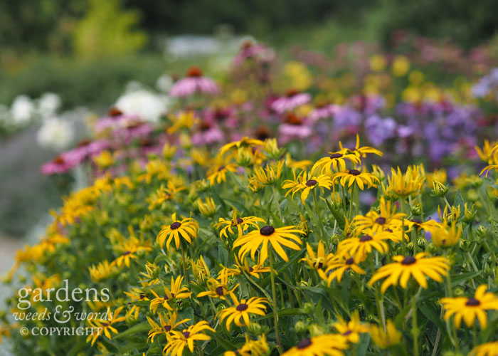 ....and rudbeckia with phlox and echinacea behind.
