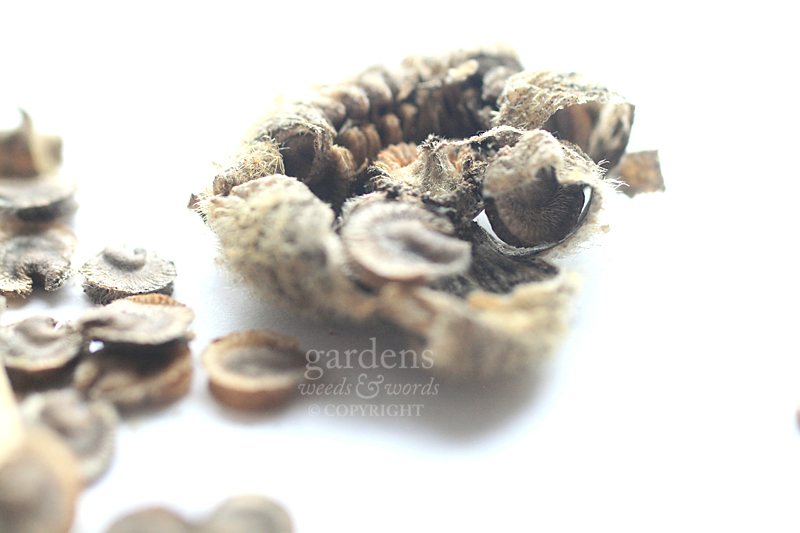 Collecting seed: Hollyhock   Alcea rosea