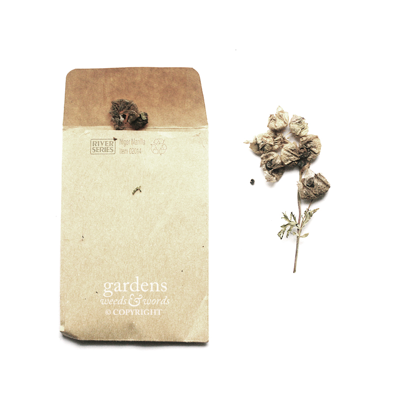 Collecting seed:  Malva moschata  f.  alba