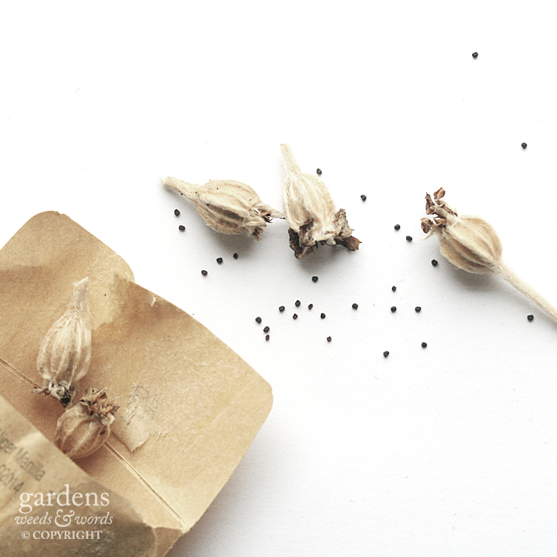 Collecting seed:  Lychnis coronaria