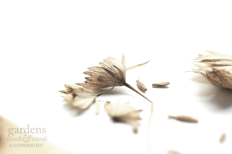 Collecting seed:  Astrantia major