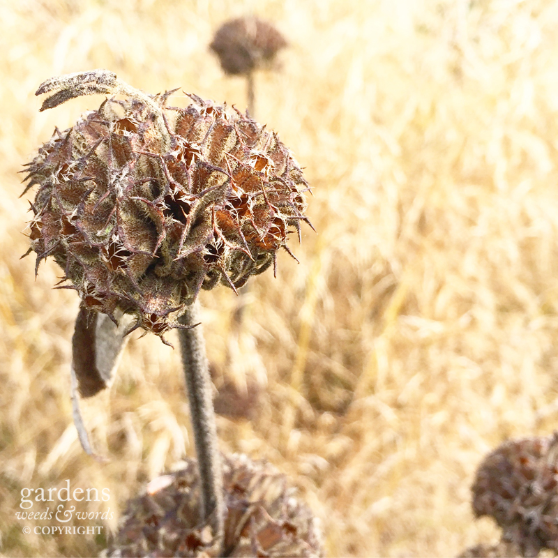 ...and a few months later,  Phlomis russeliana  seedheads ripe for the harvest.