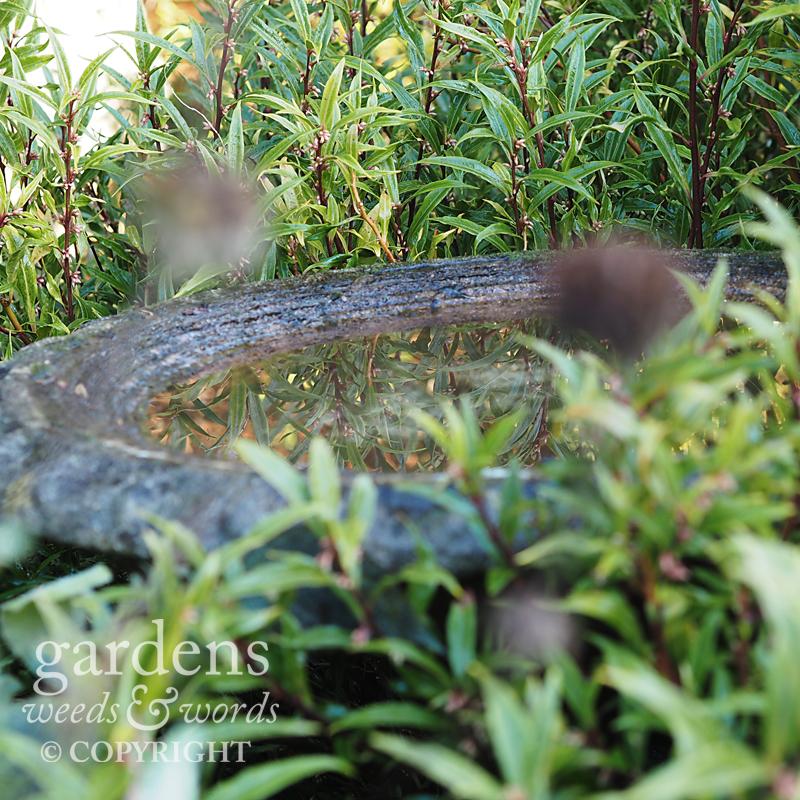 The water in a stone birdbath reflecting  Sarcococca hookeriana var. digyna