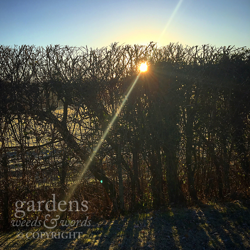 The morning sun peering through a backlit hedgerow.