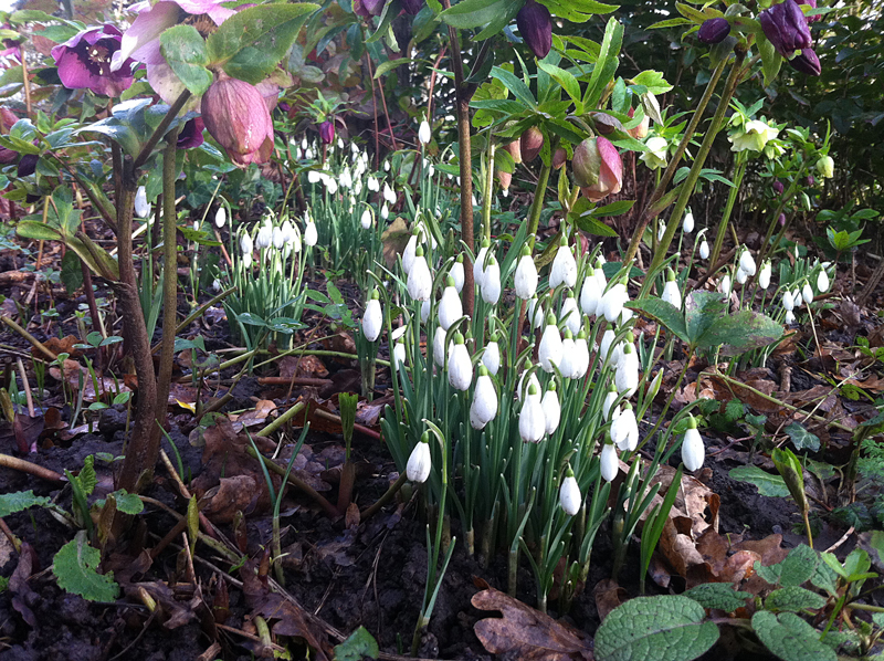 Hellebores and snowdrops in company