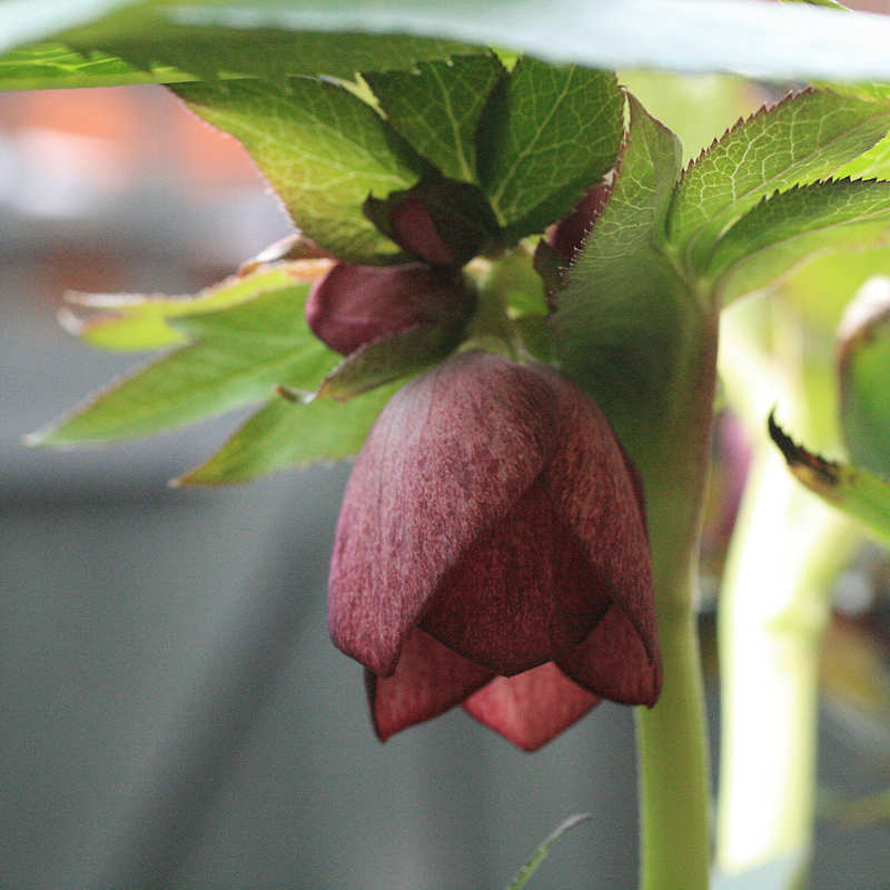 Hellebores have leafy bracts on the stem behind the flower