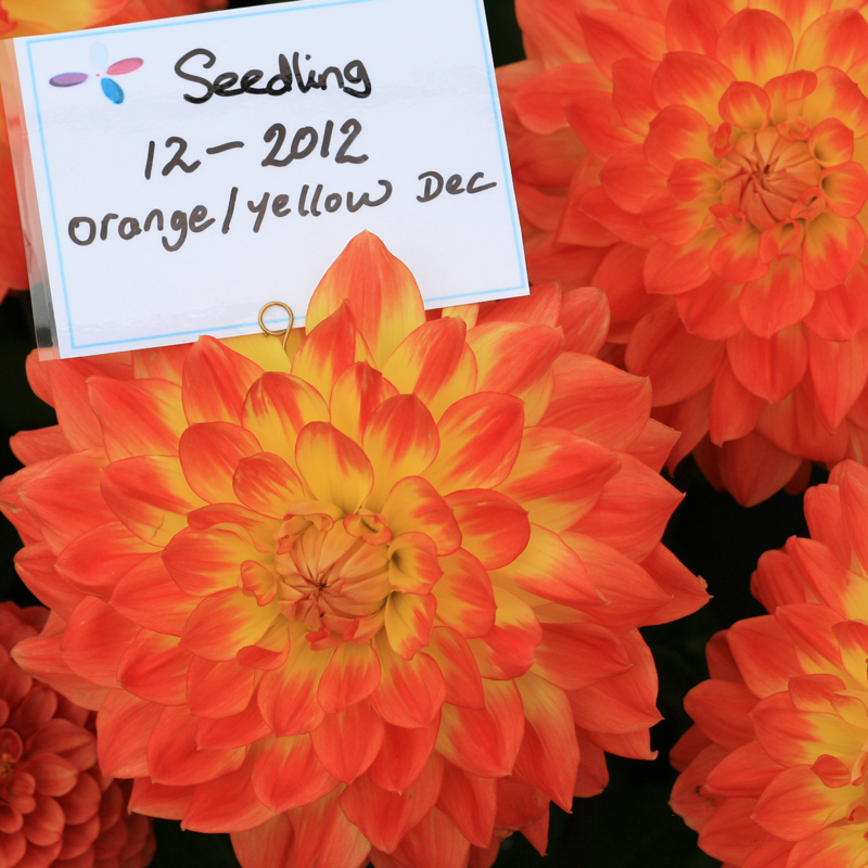 A stunning unnamed waterlilly dahlia seedling snapped at the RHS Wisley plant show in the summer of 2015 – Halls of Heddon's stand.