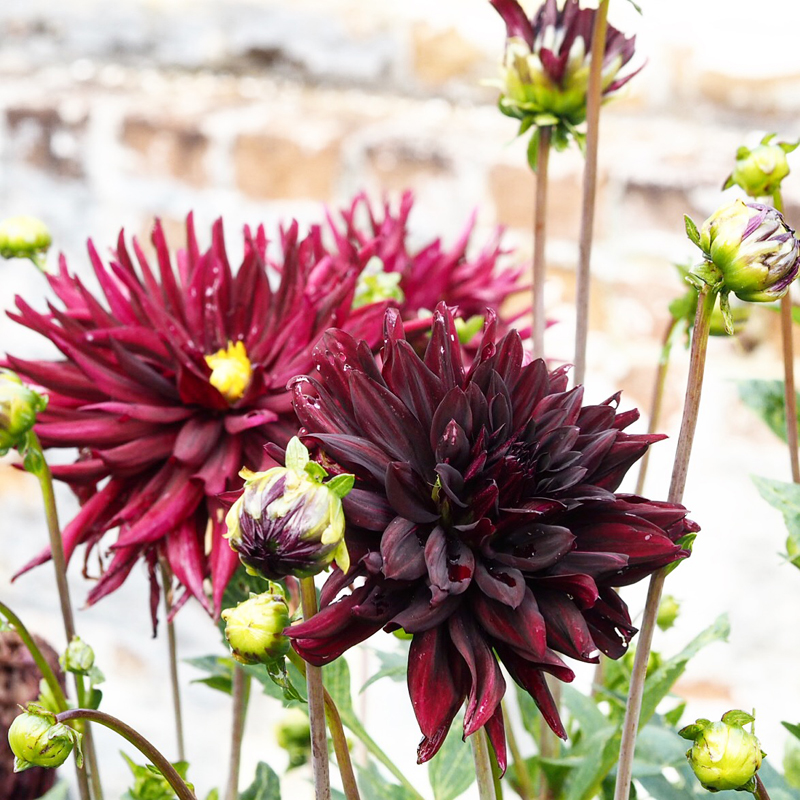 Even slightly battered at the end of summer, Dahlia 'Rip City' here in the walled garden at Holkham Hall in Norfolk is stealing the show.
