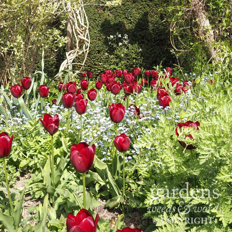 Tulips and forget-me-nots in the long border at Great Dixter