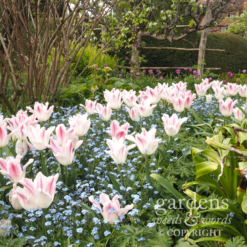 Tulips and forget-me-nots in the high garden at Great Dixter