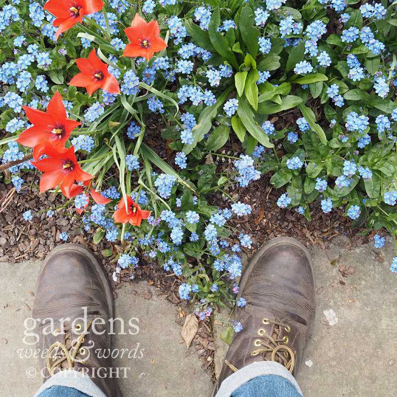Tulips and forget-me-nots in the lime walk at Sissinghurst