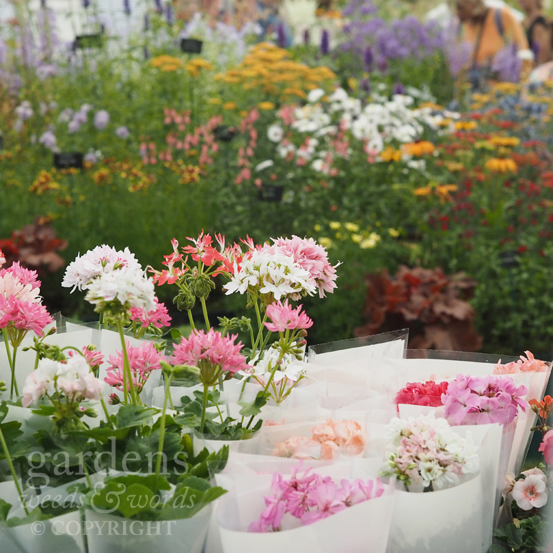 Stellar and rosebud pelargoniums for sale from  Fibrex Nurseries  at RHS Hampton Court Flower Show.