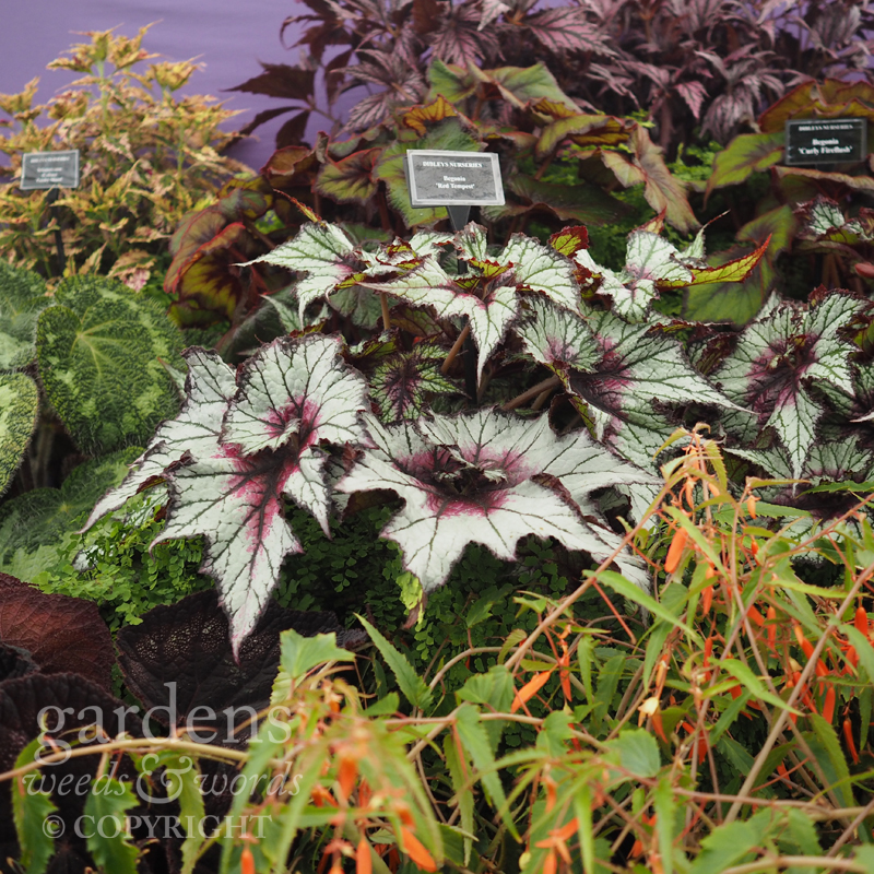 Detail from the  Dibleys  stand at RHS Hampton Court Flower Show.