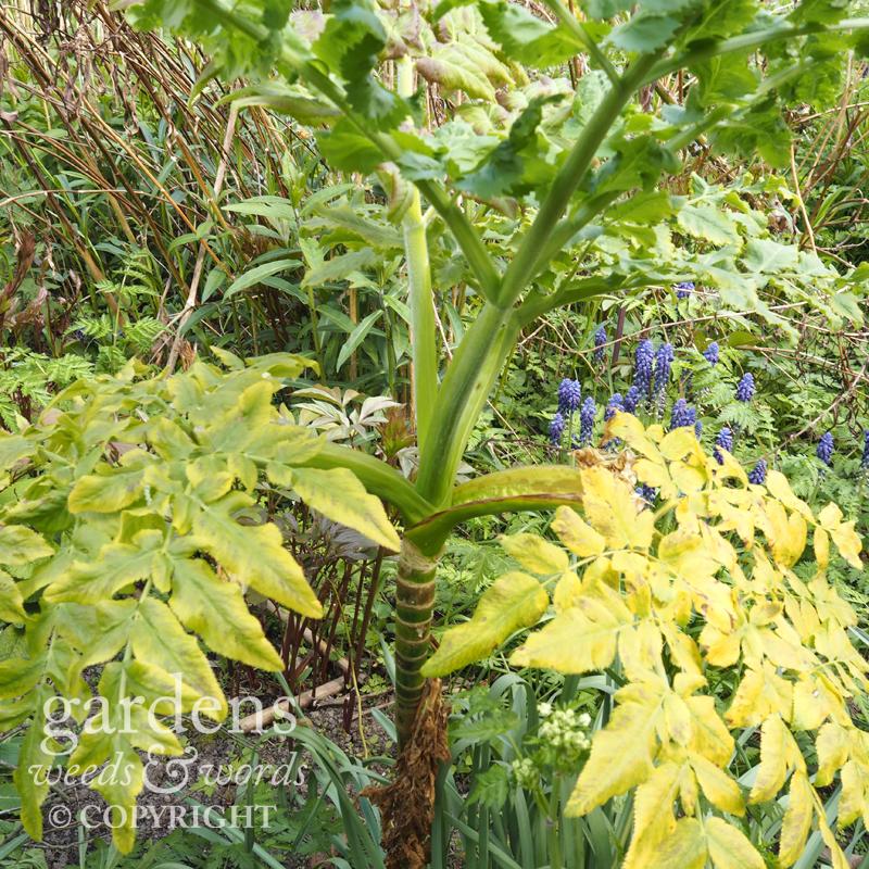 Melanoselinum decipiens , in the Orchard Garden in spring