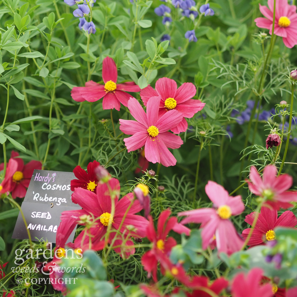 Annual cosmos on the  Hardy's Cottage Garden Plants stand at RHS Chelsea 2018