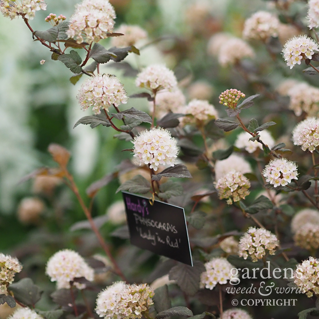 Physocarpus  'Lady in Red' on the  Hardy's Cottage Garden Plants stand at RHS Chelsea 2018