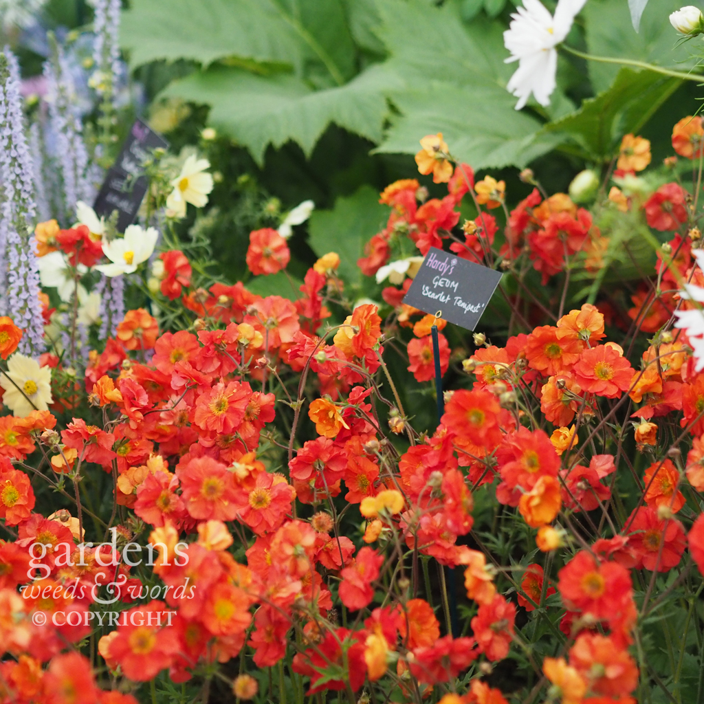 Geum  'Scarlet Tempest' on the  Hardy's Cottage Garden Plants stand at RHS Chelsea Flower Show 2018