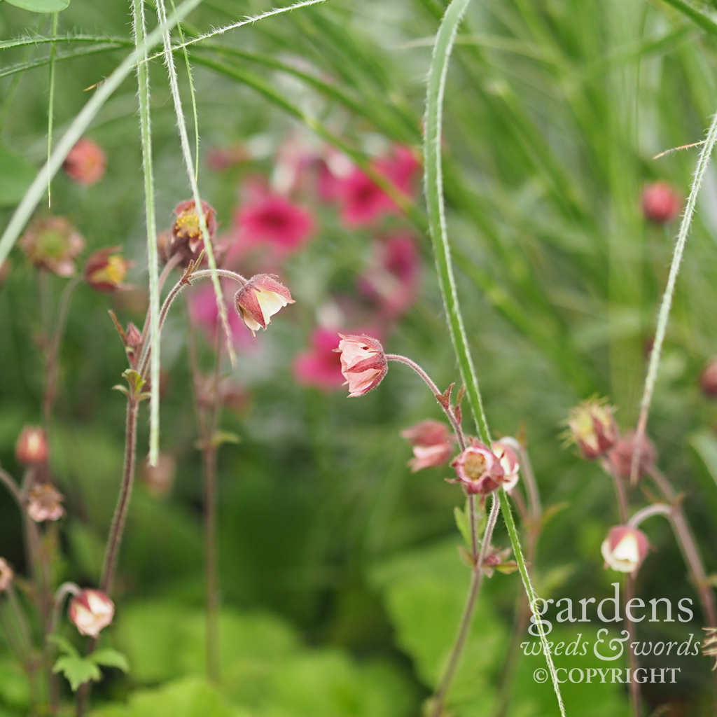 Geum rivale  on the  Hardy's Cottage Garden Plants stand at RHS Chelsea Flower Show2018