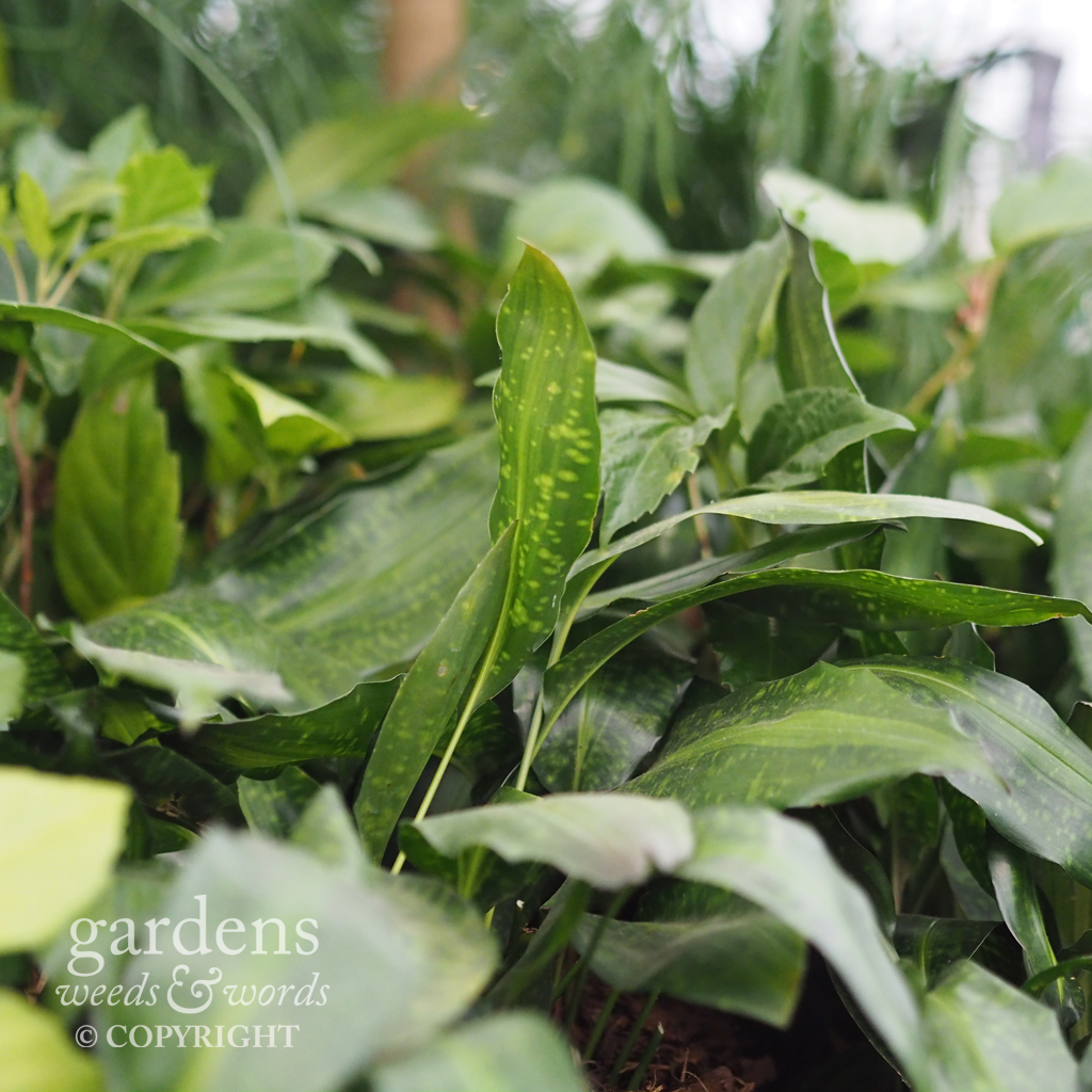 Aspidistras on the the  Crûg Farm Plants  stand at the RHS Chelsea Flower Show 2018