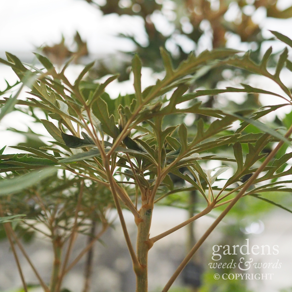 Osteopanax equadoriensis  on the the  Crûg Farm Plants  stand at the RHS Chelsea Flower Show 2018