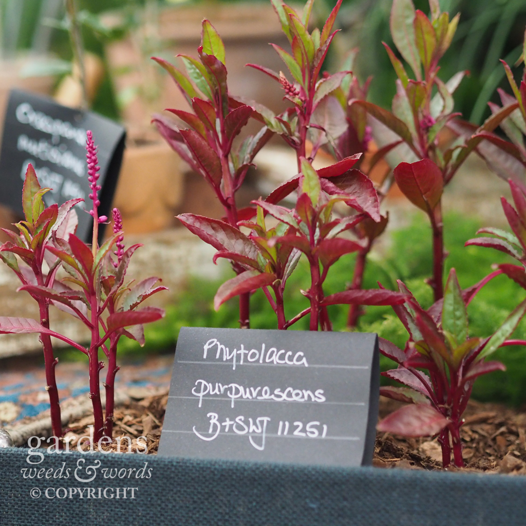 A little purple pokeweed on the the  Crûg Farm Plants  stand at the RHS Chelsea Flower Show 2018